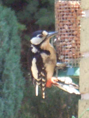 woodpecker - June 2006