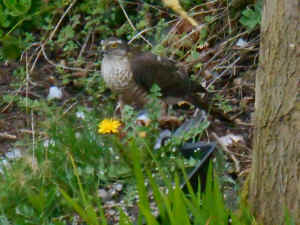 Sparrow Hawk in the garden, April 12th 2015